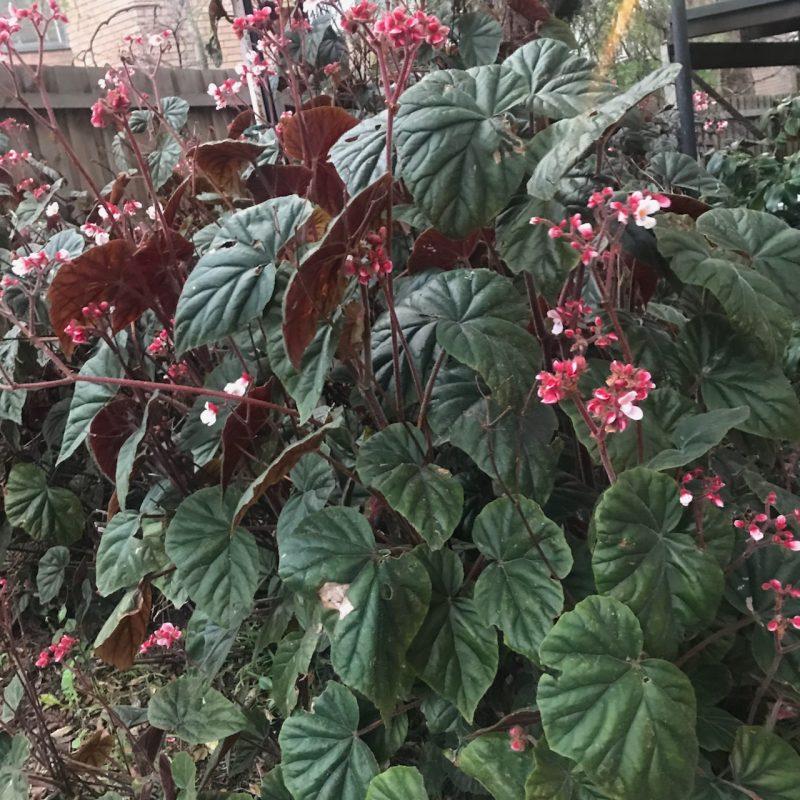 Feeding indoor plants – Begonia scharffii