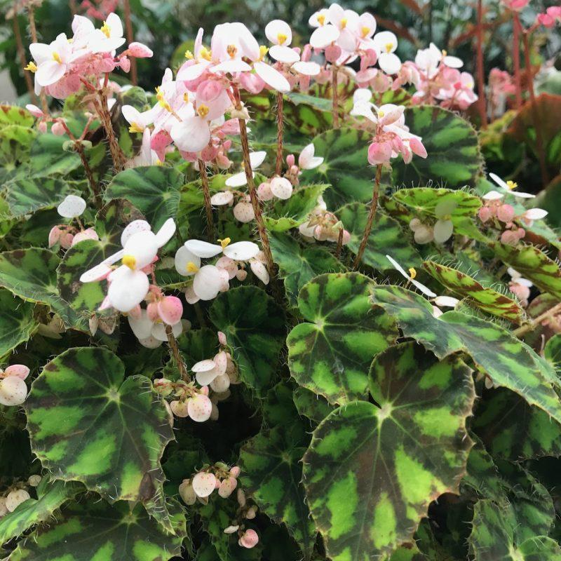 Begonia bowerae foliar fed daily throughout its growing season.