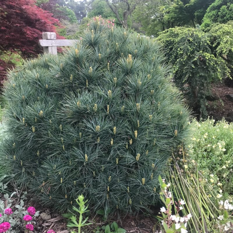Pinus strobus var. sea urchin. This is the smallest cultivar of the eastern white pine.
