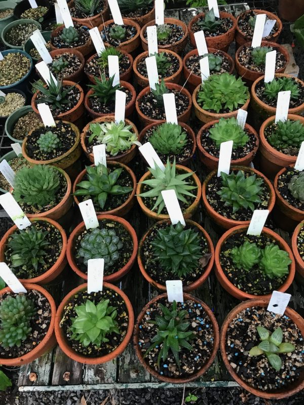 Haworthia. The wet and dry cycle is super important when growing potted succulents
