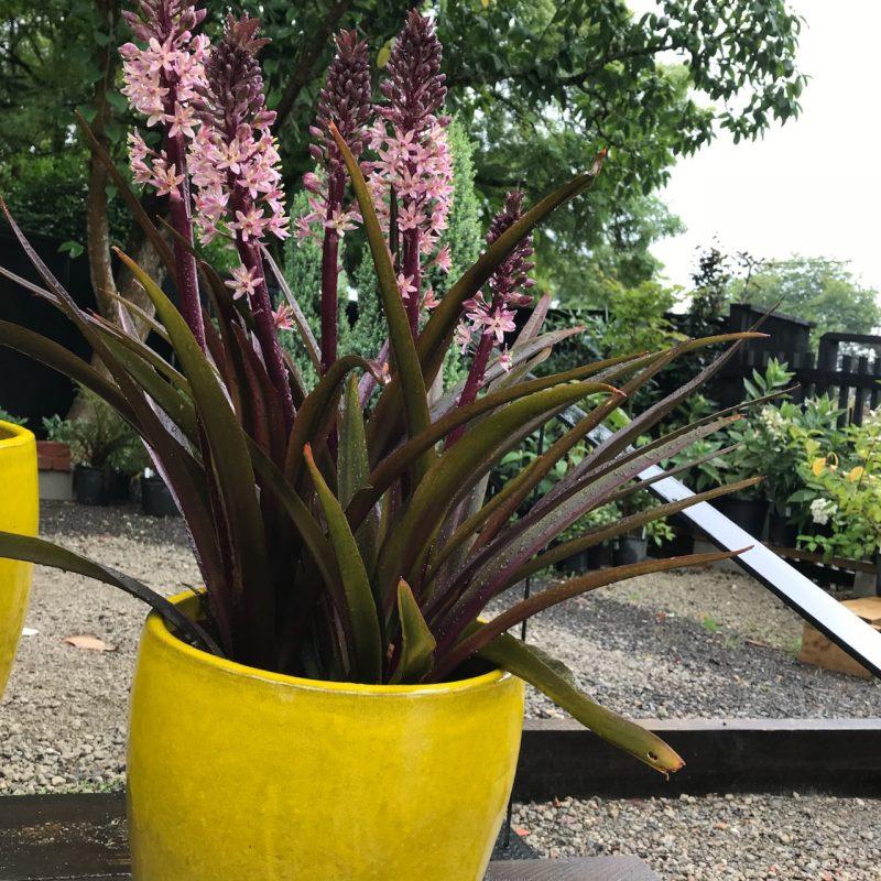 Dark Leaf Eucomis Pot Plant