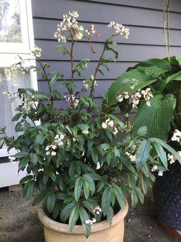 Begonia Oxyphylla Pot Plant