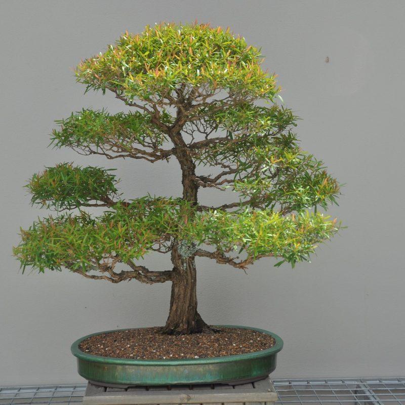 Leptospermum Petersonii Bonsai Pot Plant